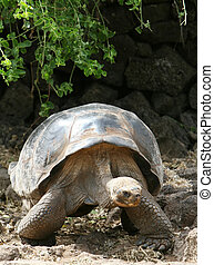 Giant Galapagos Tortoise on Santa Cruz Island