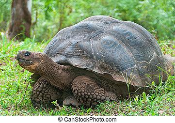 Giant Galapagos tortoise. - Single giant Galapagos tortoise.