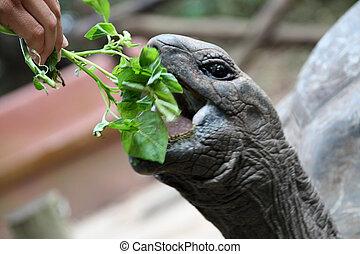 Giant Galapagos turtle eats spinach. Zanzibar Island,...