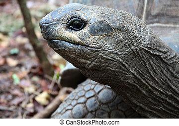 Giant Galapagos turtle head. Zanzibar Island, Tanzania,...