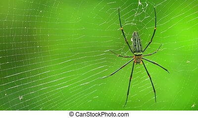 Giant Golden Orb Weaver Spider Or Northern Golden Orb Weaver