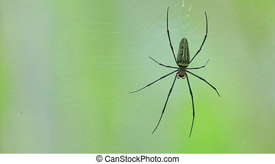 Giant Golden Orb Weaver Spider Or Northern Golden Orb Weaver...