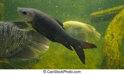 Giant gourami fish swimming in an aquarium with dirty muddy...