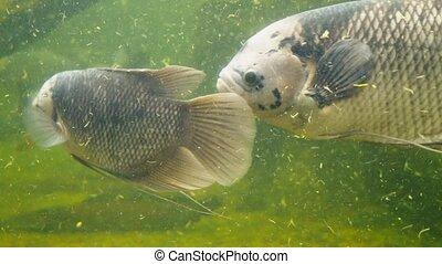Giant gourami fish swimming in an aquarium with dirty muddy...