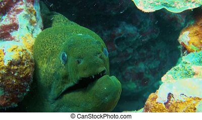 Giant Green Moray Eel Close Up With Broken Jaw & Mouth With Sharp Jaws Swaying In Colourful Coral Reef. Large Green Moray Eel Macro Close Up In South Pacific Sea In Rarotonga Cook Islands Polynesia