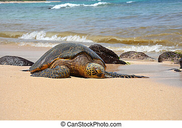 Giant green sea turtle (Chelonia mydas) lying in the sand on the beach