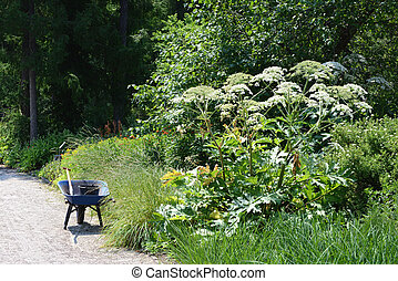 giant hogweed (Heracleum mantegazzianum) and Wheelbarrow in ...