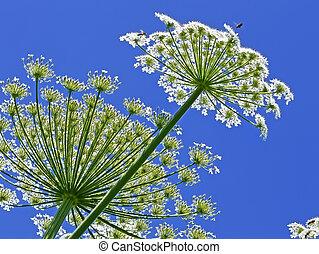Giant Hogweed, in Latin: heracleum sphondylium - Giant ...