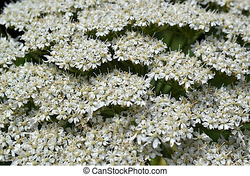 Giant Hogweed. - Micro photo from a Giant Hogweed or ...