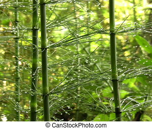 Giant horsetail (Equisetum giganteu - Growing in cloudforest...