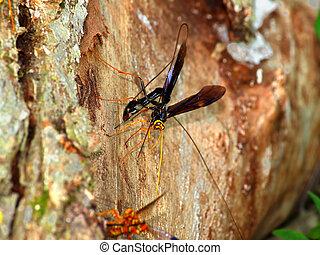 Giant Ichneumon Wasps in Illinois
