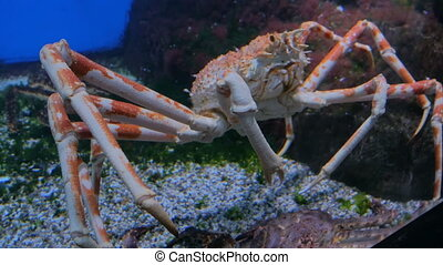 Giant japanese spider crab slowly moving. Macrocheira...