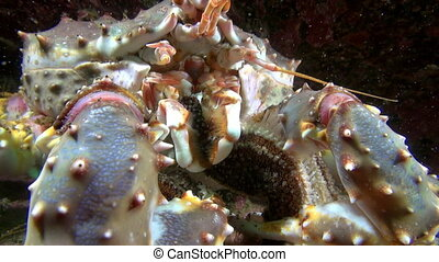 Giant King crab eats food on seabed of Barents Sea....