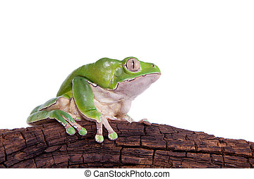 Giant leaf frog on white background