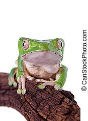 Giant leaf frog on white background - Giant leaf frog,...