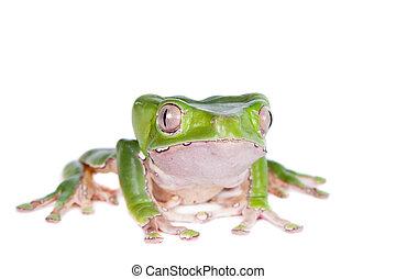 Giant leaf frog, Phyllomedusa bicolor, isolates on white background