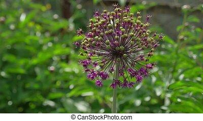 giant leek, Allium giganteum Leek, Flower nature