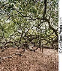 Giant Live Oak Tree in Charleston