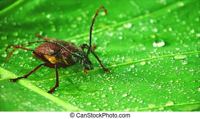 Giant beetle palo verde or longhorn beetle close up, insect footage on a green leaf with rain drops.