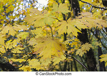 Giant Maple Tree Leaves in the Fall