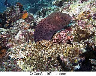 Giant moray eel (Gymnothorax javanicus) - The giant moray is...