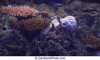 Giant moray eel hiding in a coral reef