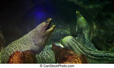 Moray eels are large serpentine fish