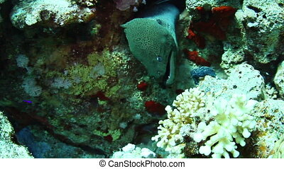 Giant moray (Gymnothorax javanicus) in the Red Sea, Egypt.