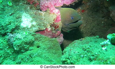 Giant moray hiding amongst coral reef on the ocean floor, Bali.