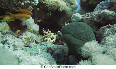 Giant Morey Eel on the Coral Reef in the Red Sea