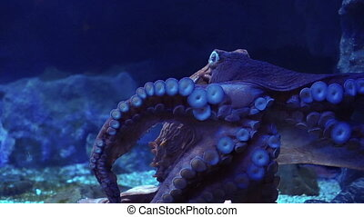 Giant octopus tentacles suction - Giant octopus spreads...