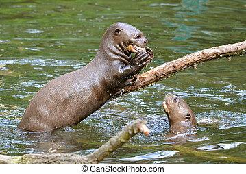 Giant otter eating a fish - Giant otter (Pteronura...