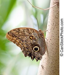 Giant Owl Butterfly - Butterfly in captivity