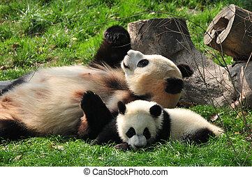 Giant Panda and babies, playing