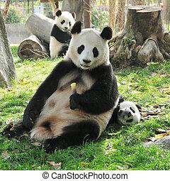 Giant Panda and babies