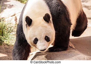 Giant panda bear known as Ailuropoda melanoleuca