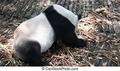 Giant panda eating bamboo close-up, Chengdu, China