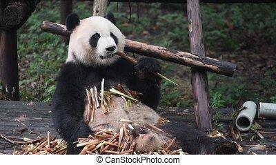 Giant panda eating bamboo close-up in Chengdu, China