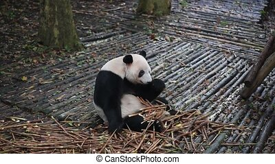 Giant panda eating bamboo closeup, Chengdu, China