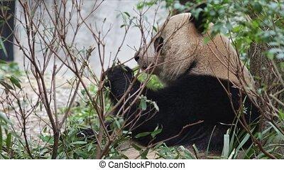 Giant panda eating bamboo in China, Gansou province