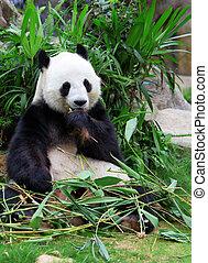 Giant panda eating bamboo