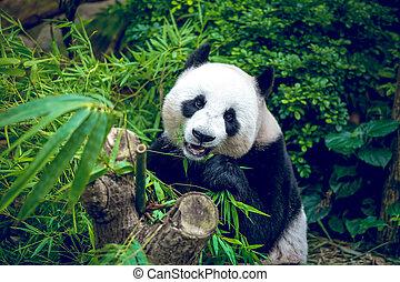 Giant panda - Hungry giant panda bear eating bamboo