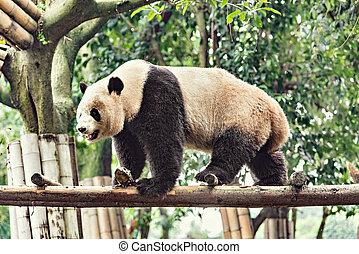Giant Panda on the bamboo.