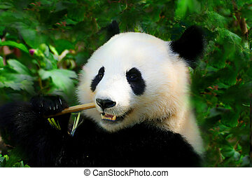 Giant Panda on the green background