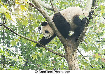 Giant panda over the tree.