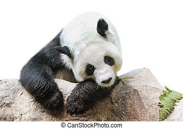 Giant Panda portrait