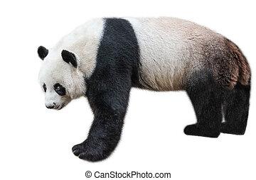 Giant Panda standing