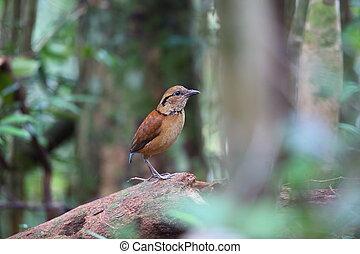 Giant Pitta (Hydrornis caeruleus) in Sabah, Borneo, Malaysia
