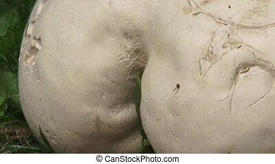 Giant puffball Calvatia gigantea cu