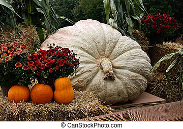 Giant Pumpkin - giant pumpkin
